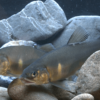 川辺川の魚フォトギャラリー